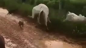 حمله گاو مادر به سگ ها