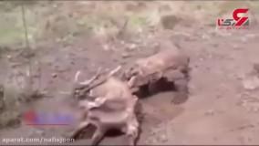 ناله کردن یک گوزن هنگام زنده زنده خورده شدن!