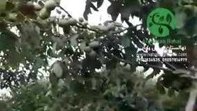 باردهی گردو چندلر در سال پنجم کاشت در ارغوان نهال