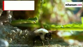 آیا زنبورهای وحشی خطرناک و کشنده اند؟   سم قوی برای دفع زنبور