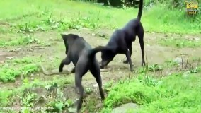 مبارزه حیوانات وحشی : سگ - مار کبرا ...