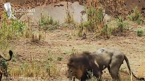 مستند حیات وحش ؛ حمله وحشیانه شیرها به شیر نر پیر