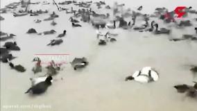 فیلم تکان دهنده از سر بریدن پرندگان مهاجر در خوزستان
