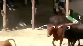 حمله همزمان چند گاو وحشی به یک مرد