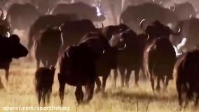 جنگ و شکار عجیب بوفالوها توسط شیرهای حیات وحش افریقا