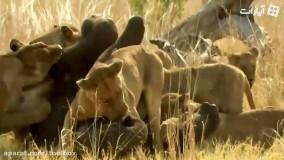 جنگ فیلها و شیرها
