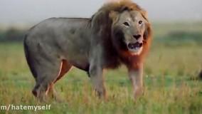 وقتی شیر توسط یه گله کفتار مورد حمله قرار میگیره