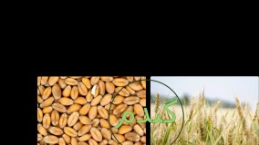 مؤثرترین سم علف کش مزارع گندم زمستانه، علف کش لیبراتور | liberator