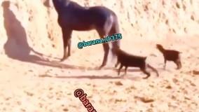 لگد سنگین اسب به سگ مزاحم ! عمرا فراموش کنه
