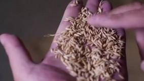 برنج چینی؛ از مزرعه تا سفره