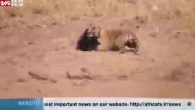 فیلم مبارزه خرس مادر برای نجات بچهاش با ببر