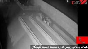فیلم از حمله 2 گرگ وحشی در گلپایگان !   وحشت در 2 روستا