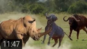 مستند جذاب و دیدنی راز بقا، نبرد کرگدن با بوفالو
