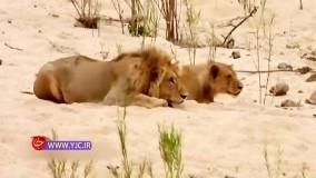 فرار کردن شیرها پس از اتحاد بوفالوها