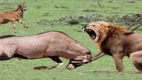 حیات وحش، مبارزه گوزن ها در مقابل شکارچیانی مثل شیر و ببر