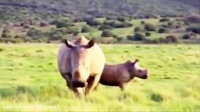 حیات وحش، تلاش شیرها برای شکار کرگدن : نبرد سهمگین کرگدن ها