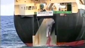 فیلمی دردناک از روش شکار غیر مجاز نهنگ ها