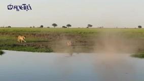 لحظه دلهرهآور حمله و شکار تمساح توسط شیر