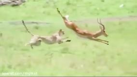 شکار شدن آهوی بدشانس توسط یوز پلنگ های جوان