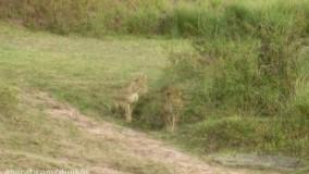 حیات وحش ، مبارزه گورخر برای بقاء در مقابل شیر و پلنگ