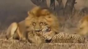 شکار یوزپلنگ مغرور توسط شیر نر