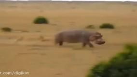 حیات وحش ، شکست شیرها در مقابل حیوانات بزرگ و خشمگین