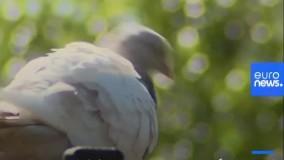 حکم اعدام یک کبوتر در استرالیا لغو شد !