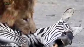 شکار شکارچیان از شیر تا پلنگ و کروکودیل