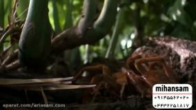 شکار موش و پرنده توسط رتیل عظیم الجثه | سم رتیل کش خارجی