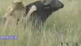 ضربه سخت بوفالو به شیر نر