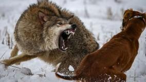 کشتن سگ نگهبان توسط گرگ گرسنه