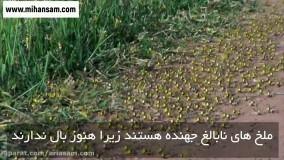 پاکسازی موثر مزارع از ملخ ها با سموم تخصصی