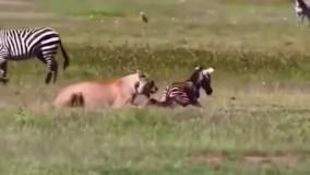 گروگان گیری کره گورخر توسط شیر