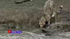 حمله وحشیانه کروکودیل به یوزپلنگ نگون بخت