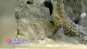 لحظه باور نکردنی شکار تمساح از آب، توسط پلنگ قوی