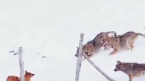 فرار جالب یک سگ از میان 3 گرگ گرسنه