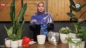آموزش کاشت سیر در گلدان