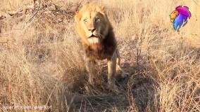 10 لحظه برتر حیوانات وحشی باورنکردنی در سافاری آفریقا
