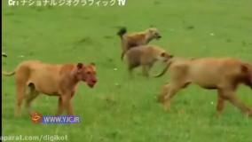 جنگ سخت شیر و کفتار برای تصاحب شکار