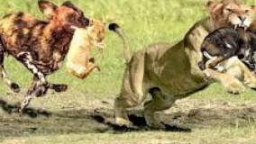 حیات وحش ، حمله و مقابله شیرها با سگ های وحشی