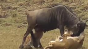 فرصت طلبی کفتار برای خوردن شکار شیر