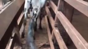 حمله وحشتناک مار پیتون به گوساله مزرعه