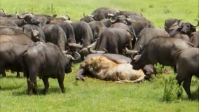 حیات وحش ، یک پایان تلخ برای شکارچیان از شیر تا عقاب