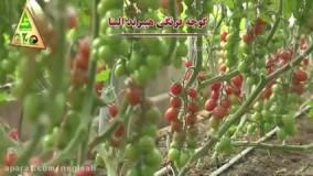 گوجه فرنگی هیبرید الینا - شرکت کشاورزی حاتم