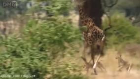 حیات وحش ، شکارها و شکست های دیدنی شیر از حیوانات بزرگ