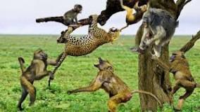 حمله برای بقاء ؛ شکار و فرار پلنگ در مقابل میمون ها