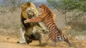 حیات وحش ، تلاش قدرتمندترین های وحش در شکار از شیر تا ببر و پلنگ