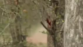 حیات وحش ، حمله عقاب برای شکار ؛ تلاش پلنگ برای شکار میمون