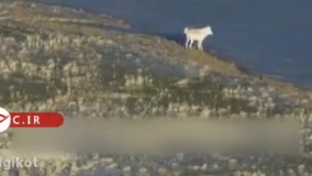 فرار خرس گریزلی از دست گرگ سفید