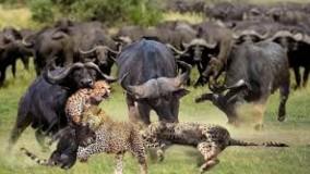 حیات وحش ، پاسخ بوفالو به تجاوز یوزپلنگ ها : شکار های دیدنی دنیای وحش